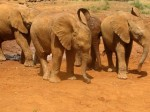 Herd of One-Year-Old Baby Elephant Orphans